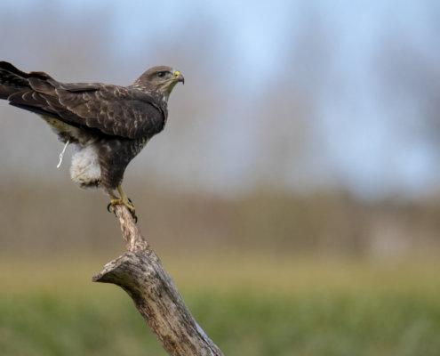 Bird of prey Rough-legged buzzard buteo