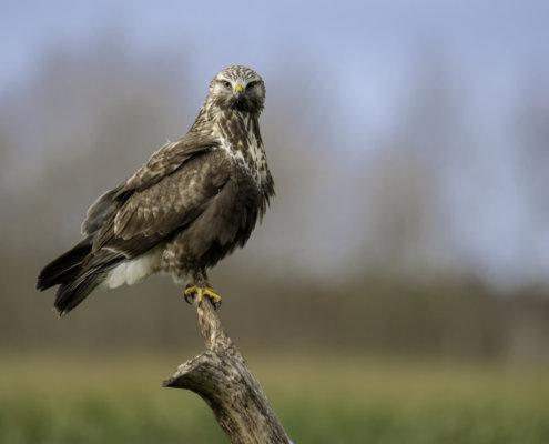 close up bird, Bird of prey Rough-legged buzzard buteo lagopus, brown bird, bird, bird on branch, wildlife, nature photography, Artur Rydzewski