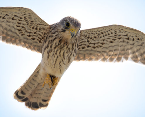 bird in flight, wingspan, wings, Common kestrel Falco tinnunculus pustułka Nature photography, bird, close up, wild life, Artur Rydzewski