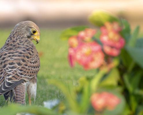 Common kestrel, Falco tinnunculus, pustułka Nature photography, bird, close up, wild life, Artur Rydzewski, grass, bird standing on the grass