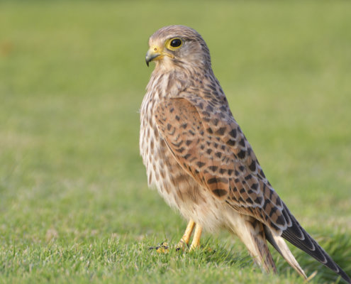 Common kestrel Falco tinnunculus pustułka Nature photography, bird, close up, wild life, Artur Rydzewski, grass, bird standing on the grass