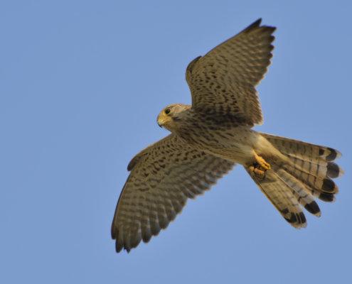 Common kestrel Falco tinnunculus pustułka Nature photography, bird, bird in flight, wingspan, close up, wild life, Artur Rydzewski