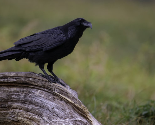 Common raven Crow bird of prey Corvus corax