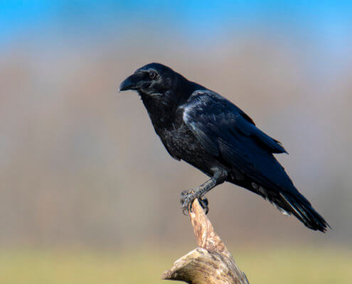 Bird of prey, common raven, crow, corvus corax, kruk, Nature photography, wildlife, bird standing on branch, singing bird, black bird, wildlife, blue sky, beige background, Artur Rydzewski