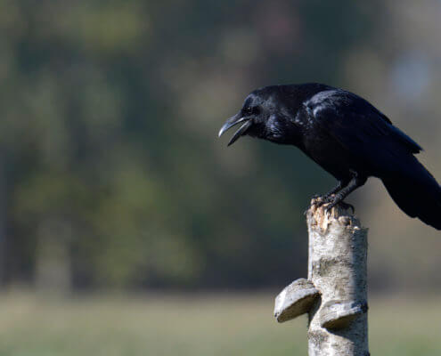 Bird of prey, common raven, crow, corvus corax, kruk, Nature photography, wildlife, bird standing on branch, singing bird, black bird, wildlife, Artur Rydzewski