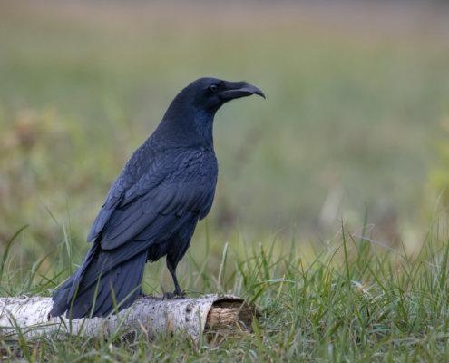 Common raven, Crow, bird of prey, black bird, bird, wildlife, nature photography, Artur Rydzewski