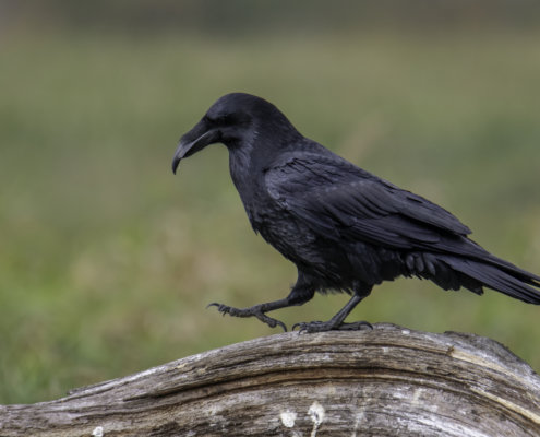 Common raven, Crow, bird of prey, black bird, bird, walking bird, wildlife, nature photography, Artur Rydzewski