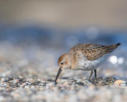 Dunlin, Calidris alpina, Biegus zmienny, Bird, nature photography, walking bird, bokeh, beach, wildlife, Artur Rydzewski