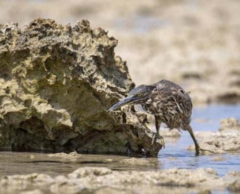 Striated heron, bird, Butorides striata water, water bird, wildlife, nature photography, Artur Rydzewski