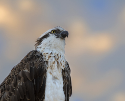 bird osprey sea hawk river hawk fish hawk Bird of prey nature photography