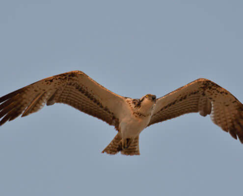 Flying osprey also called sea hawk, river hawk, and fish hawk on the blue sky background. Bird of prey