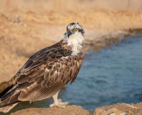 The osprey also called sea hawk, river hawk, and fish hawk sitting on the rocks. Bird of prey