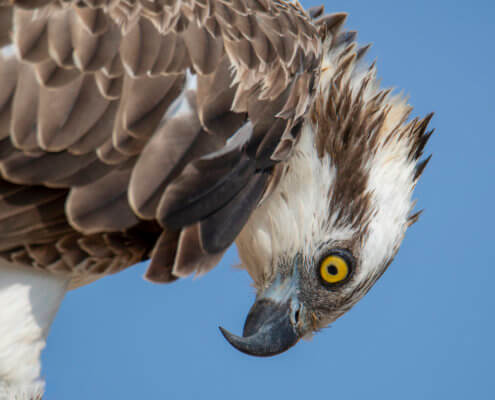 Osprey sea hawk river hawk fish hawk Bird of prey Close up, head, eye, beak, wildlife nature photography, Artur Rydzewski, rybołów