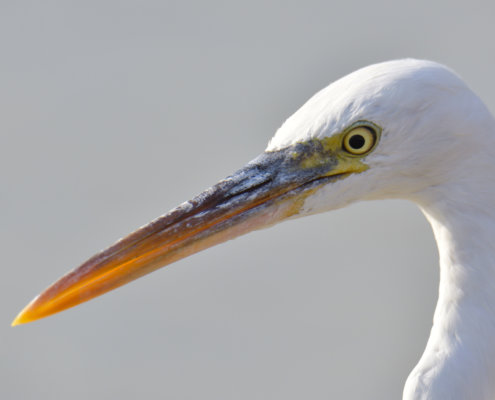 beak, eye, back light, long beak, close up, Western reef heron, bird, Egretta gularis schistacea, white bird, water, wildlife, nature photography, Artur Rydzewski
