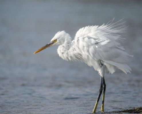 Western reef heron, bird, Egretta gularis schistacea, white bird, water, wildlife, nature photography, Artur Rydzewski