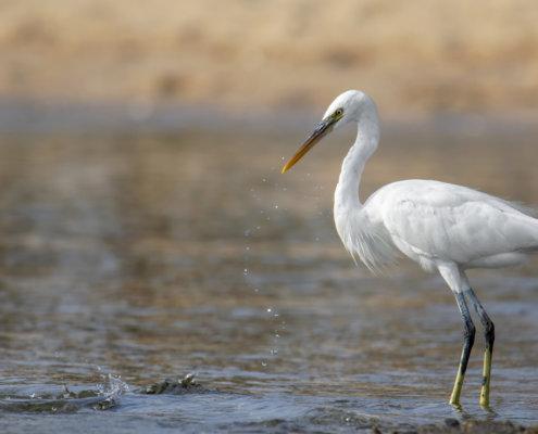 long beak, close up, Western reef heron, bird, Egretta gularis schistacea, white bird, water, wildlife, nature photography, Artur Rydzewski