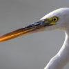 Western reef heron bird Egretta gularis schistacea head