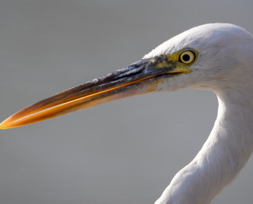 back light, eye, head, beak, close up, Western reef heron, bird, Egretta gularis schistacea, white bird, water, wildlife, nature photography, Artur Rydzewski