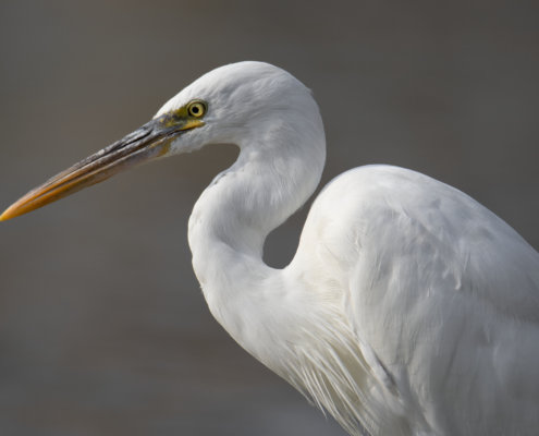 head, beak, close up, Western reef heron, bird, Egretta gularis schistacea, white bird, water, wildlife, nature photography, Artur Rydzewski