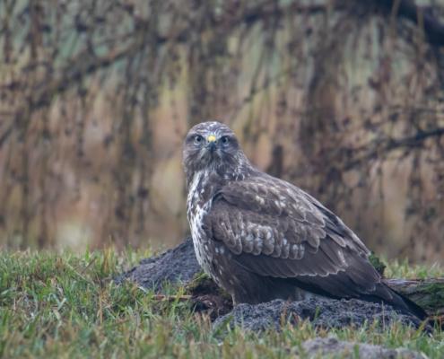 Bird of prey Common buzzard bird