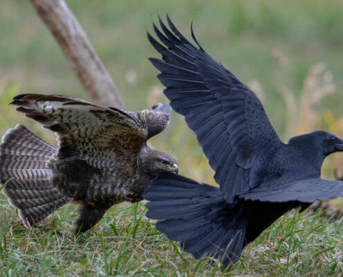 brown bird, black bird, crow, Bird of prey Common buzzard, buteo buteo, wildlife nature photography, Artur Rydzewski