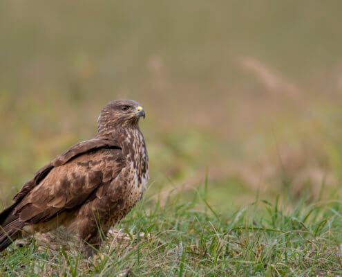 brown bird, Bird of prey Common buzzard, buteo buteo, wildlife nature photography, Artur Rydzewski