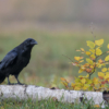 Crow, raven, bird of prey, black bird, small tree, wild life nature photography, Artur Rydzewski