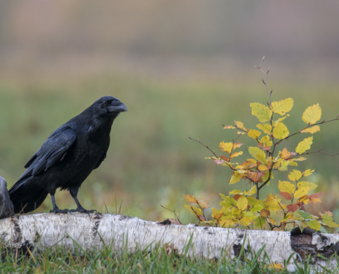 Crow, raven, bird of prey