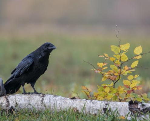 Crow, bird of prey