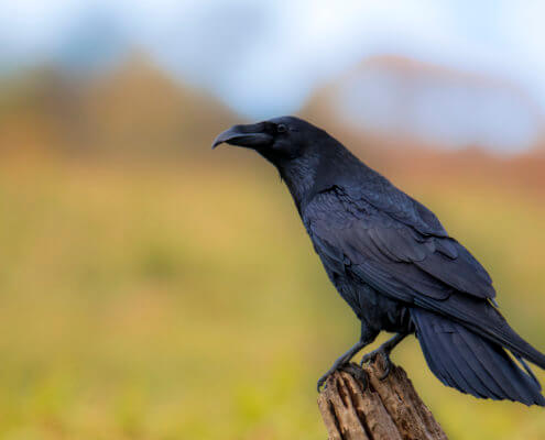 Common raven Crow bird of prey Corvus corax, wildlife nature photography, Artur Rydzewski