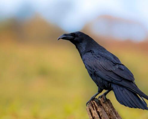 Common raven Crow bird of prey Corvus corax, wildlife nature photography, Artur Rydzewski