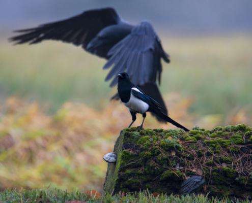 Eurasian magpie bird, pica pica, wild life nature photography, Artur Rydzewski