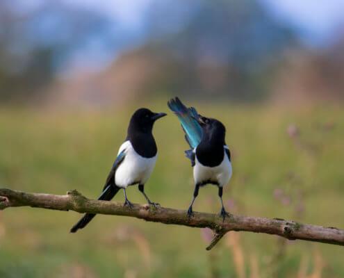 Eurasian magpie birds on branch