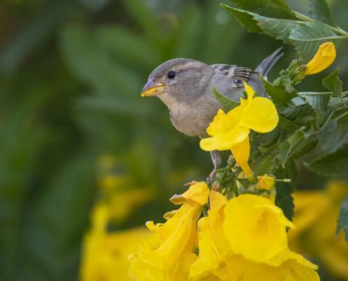 House sparrow bird in flowers