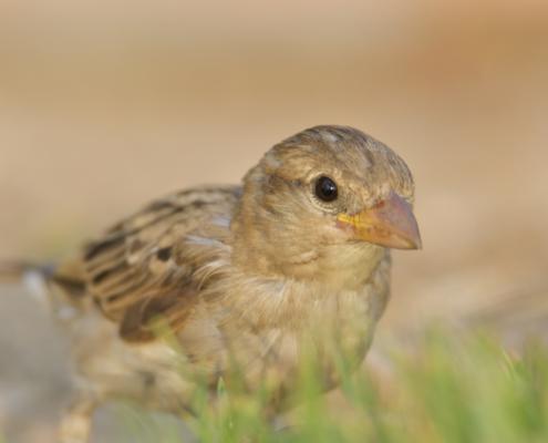 House sparrow small bird, Passer domesticus, bird, close up bird, wild life nature photography, Artur Rydzewski