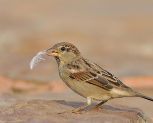 House sparrow bird with feather in beak