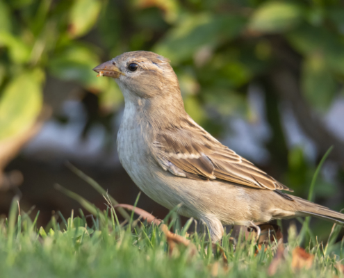 House sparrow small bird