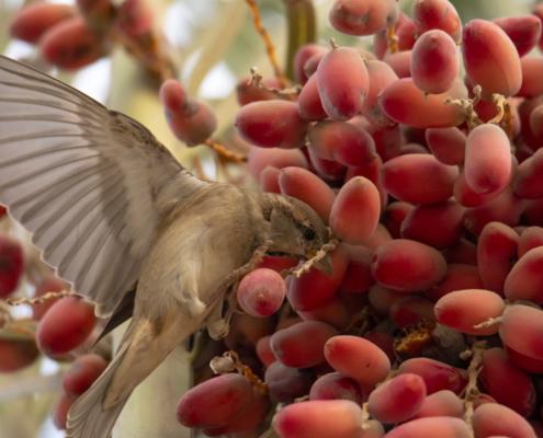 House sparrow eating bird
