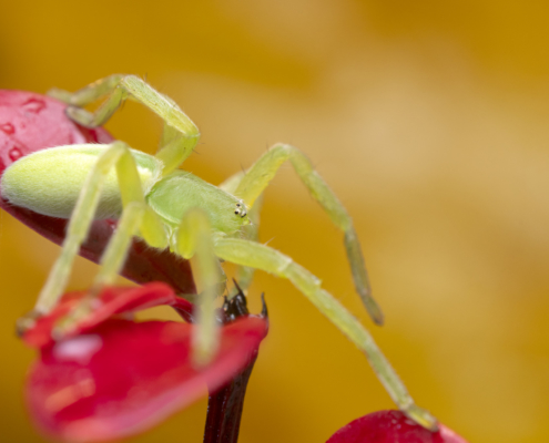 Spider macro photography close up, Micrommata virescens, Green huntsman spider, wild life nature photography, Artur Rydzewski