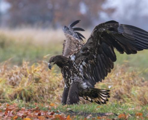 Bird of prey White-Tailed Eagle Bielik wingspan