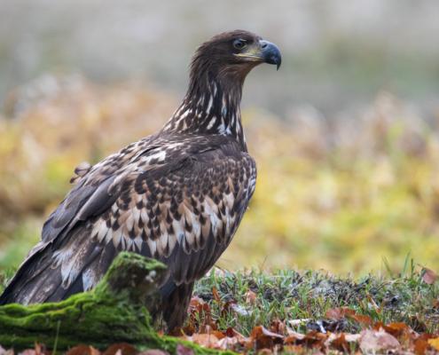Bird of prey White-Tailed Eagle Bielik bird