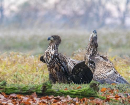 Bird of prey White-Tailed Eagle birds Bielik
