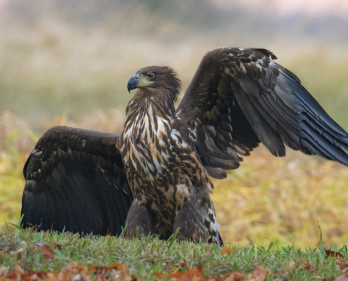 wingspan, flying bird, wings, White-tailed eagle, Haliaeetus albicilla, bird of prey, bird, close up wild life nature photography, Artur Rydzewski