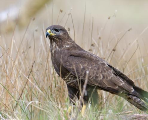 Common buzzard, Buteo buteo, Myszołów, bird of prey brown bird wildlife nature photography puszcza wkrzańska Rezerwat śwdwie