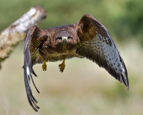Common buzzard, Buteo buteo, Myszołów, bird of prey brown bird in flight flying bird wildlife nature photography puszcza wkrzańska Rezerwat świdwie straight flight