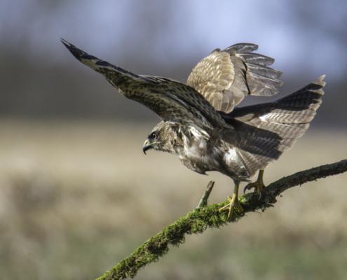 bird of prey, Common buzzard bird, buzzard raptor, wildlife nature photography, wings, branch