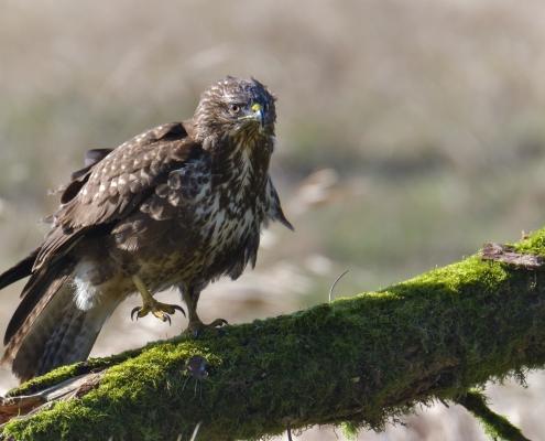 Common buzzard, Buteo buteo, Myszołów, bird of prey brown bird wild life bird sitting on branch, nature photography Artur Rydzewski