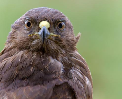 bird of prey, Common buzzard bird, buzzard raptor, wildlife nature photography, wings, close up head