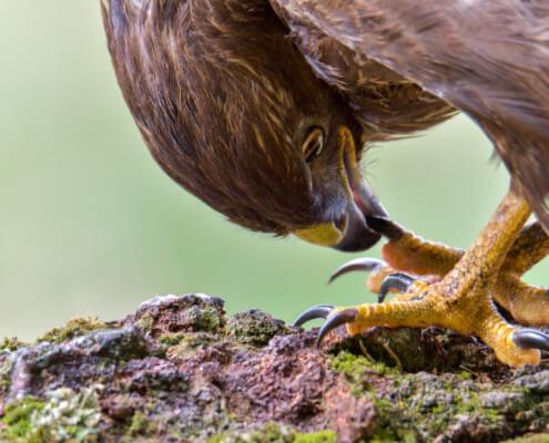 bird of prey, Common buzzard bird, buzzard raptor, wildlife nature photography, wings, close up