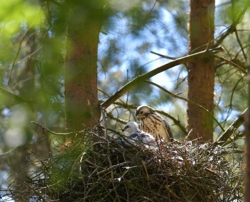 Common buzzard, Buteo buteo, Myszołów, bird of prey nest, chick, nestling young bird with parent wildlife nature photography Puszcza Wkrzańska, rezerwat świdwie Artur Rydzewski
